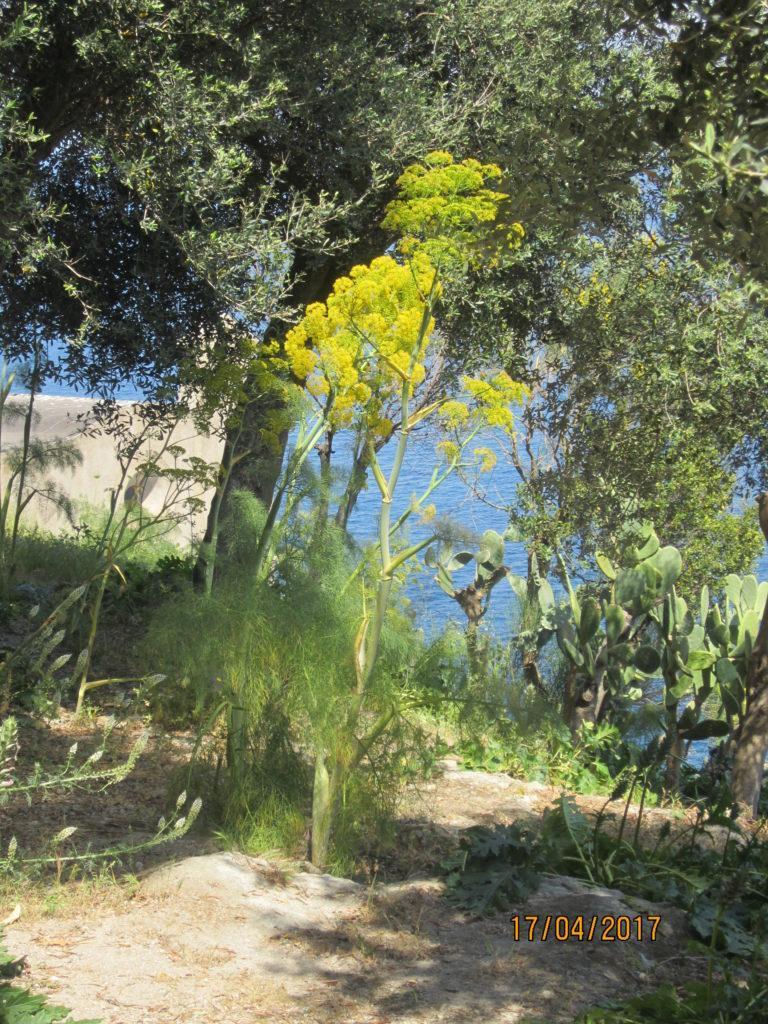 Арагонский замок. Сад. Оливы.