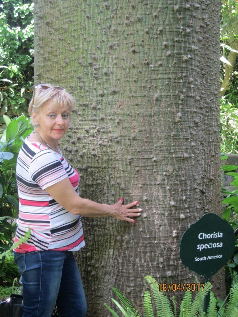 Сад Ла Мортелла. Дерево с шипами -Хоризия великолепная