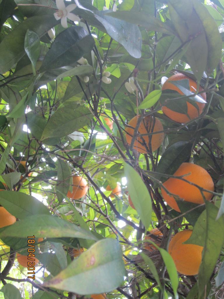 Сад Ла Мортелла.Апельсины