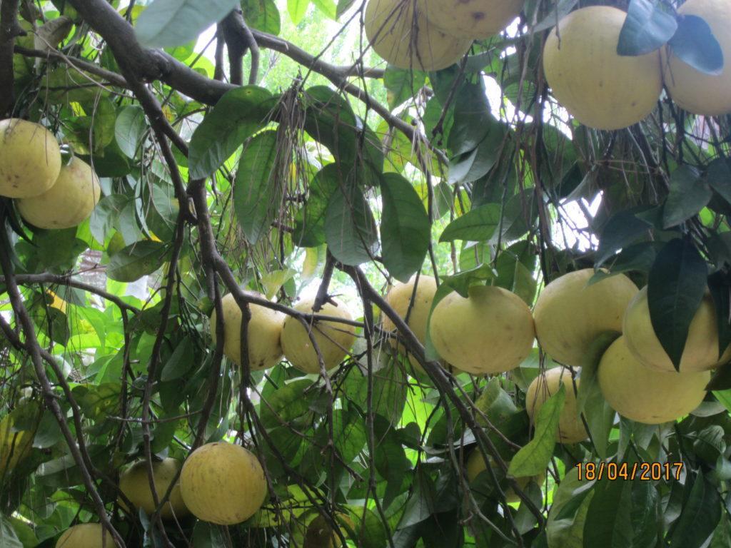 Сад Ла Мортелла.Грейпфруты.