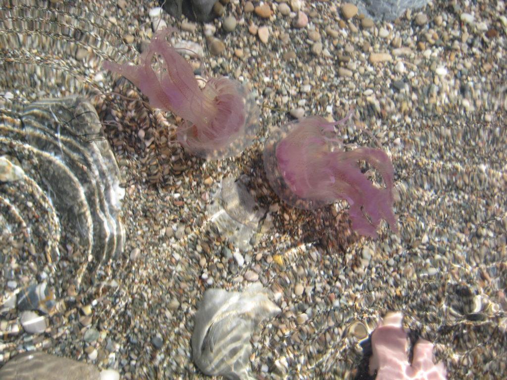 Возле острова Изола Белла. Медузы