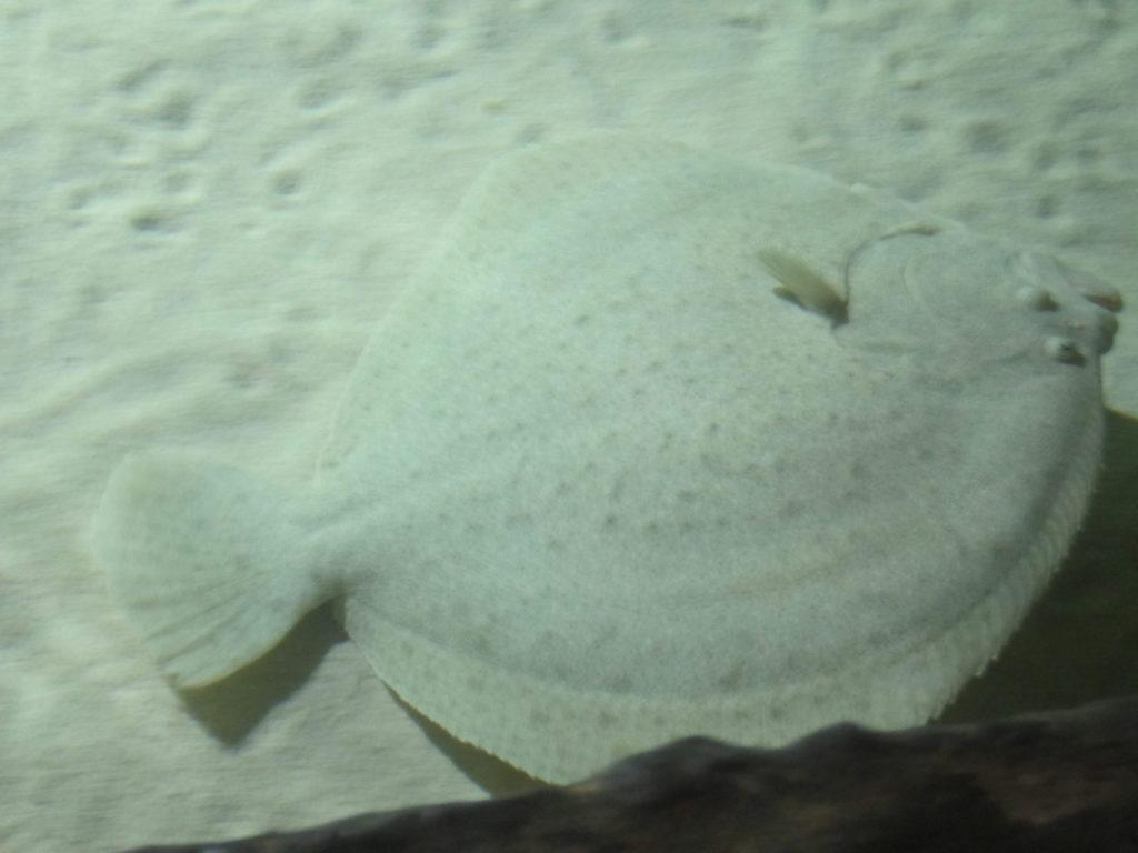 Аквариум Генуи. Открытый бассейн. Камбала